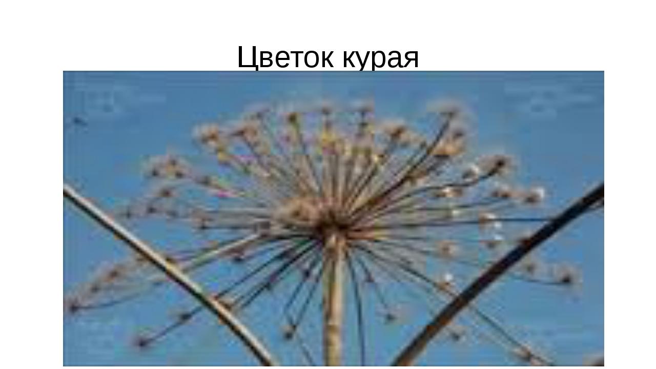 Цветок курая