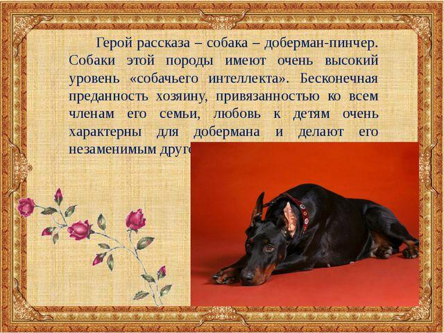 Герой рассказа – собака – доберман-пинчер. Собаки этой породы имеют очень вы...
