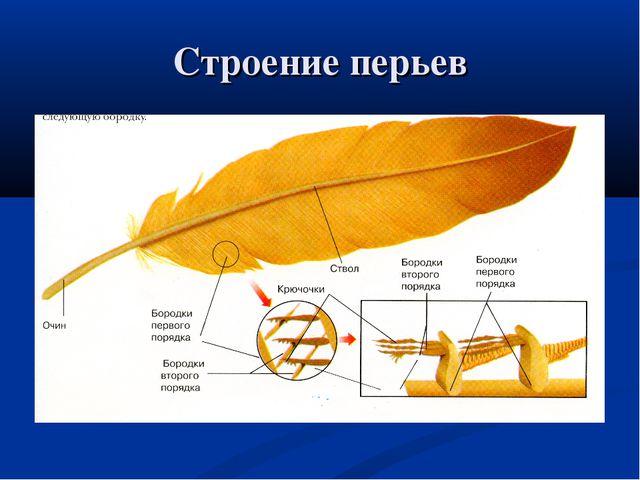 Строение перьев