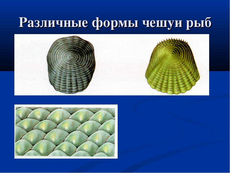 Различные формы чешуи рыб
