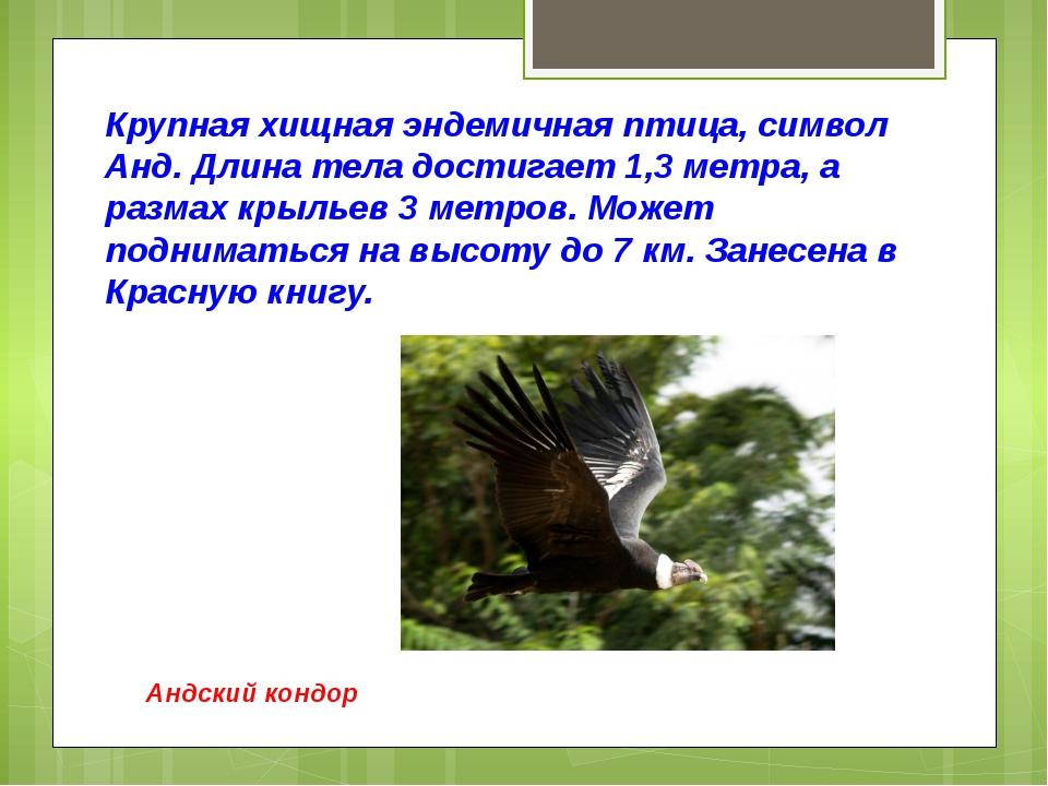 Крупная хищная эндемичная птица, символ Анд. Длина тела достигает 1,3 метра,...