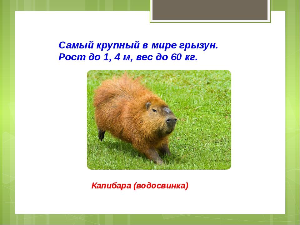 Самый крупный в мире грызун. Рост до 1, 4 м, вес до 60 кг. Капибара (водосвин...