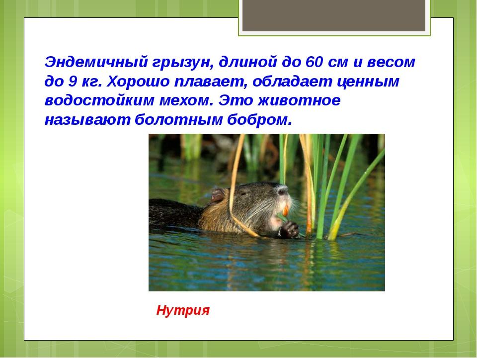 Эндемичный грызун, длиной до 60 см и весом до 9 кг. Хорошо плавает, обладает...