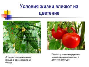 Условия жизни влияют на цветение Огурец до цветения поливают меньше, а во вре