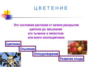 Ц В Е Т Е Н И Е Это состояние растения от начала раскрытия цветков до засыха