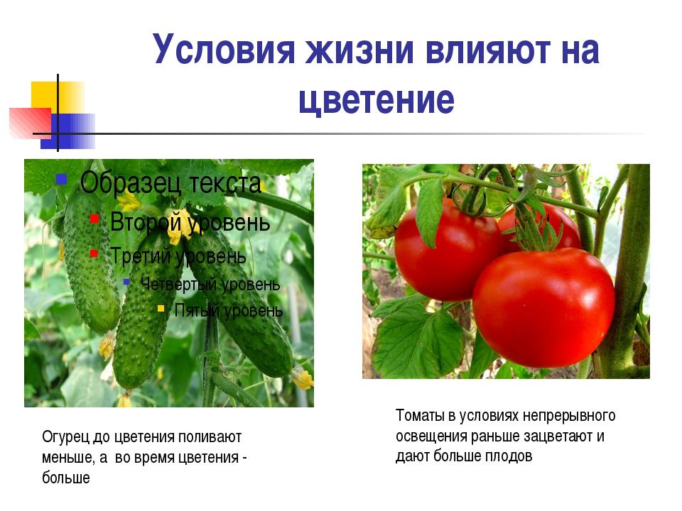 Условия жизни влияют на цветение Огурец до цветения поливают меньше, а во вре...