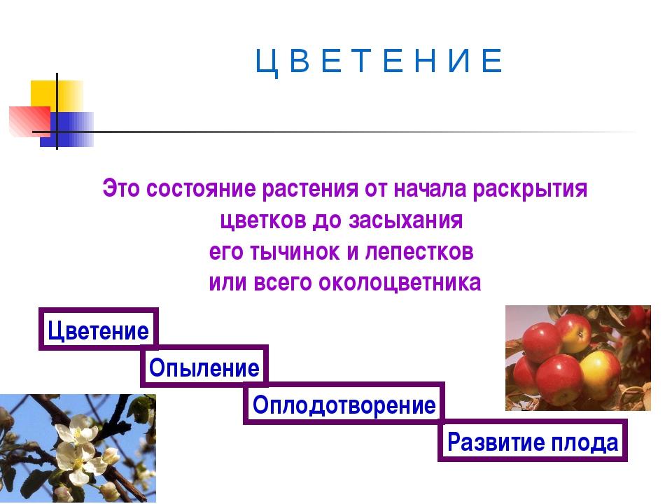 Ц В Е Т Е Н И Е Это состояние растения от начала раскрытия цветков до засыха...