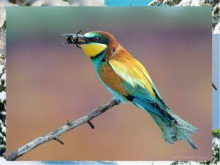 Щурок Золотистая щурка или пчелоедка— это одна из самых красочных птицЕвроп
