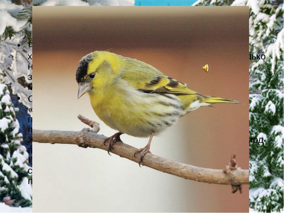 Чиж Чиж - это серовато-зеленая птичка с робким характером, маленькая, тихая,...