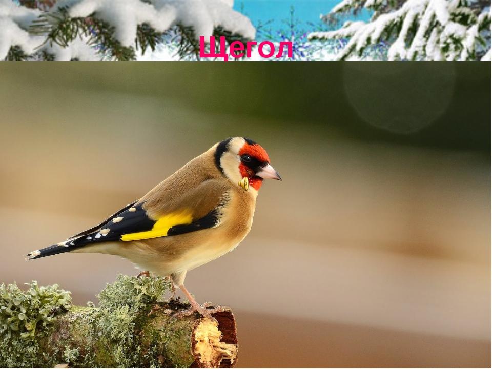 Щегол Щегол - одна из самых красивых птиц, встречающихся в наших лесах. В опе...