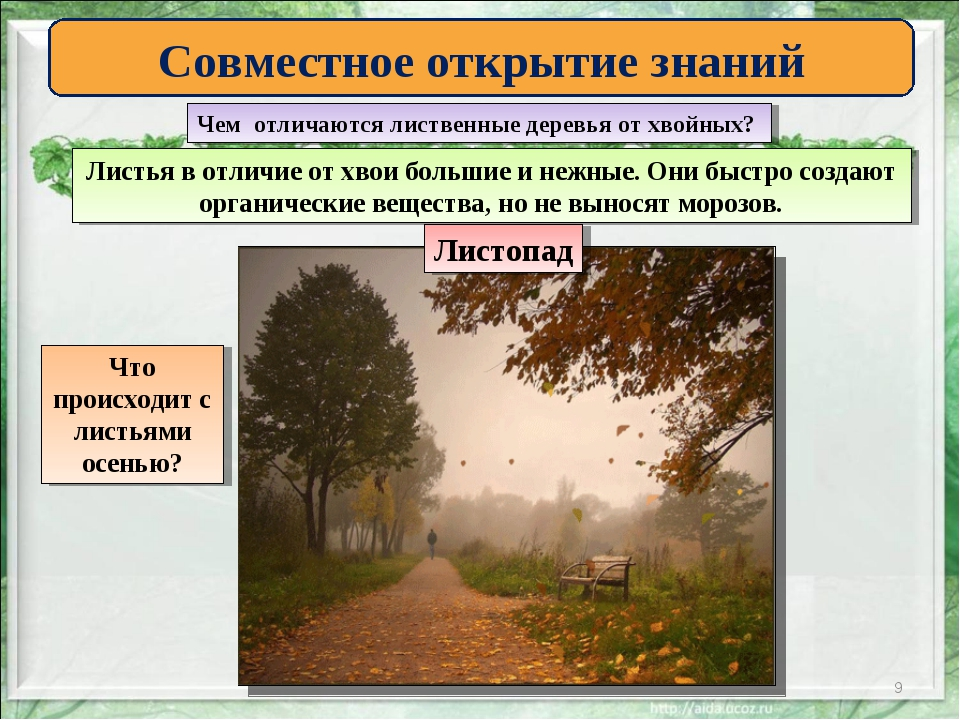 * Совместное открытие знаний Чем отличаются лиственные деревья от хвойных? Ли...