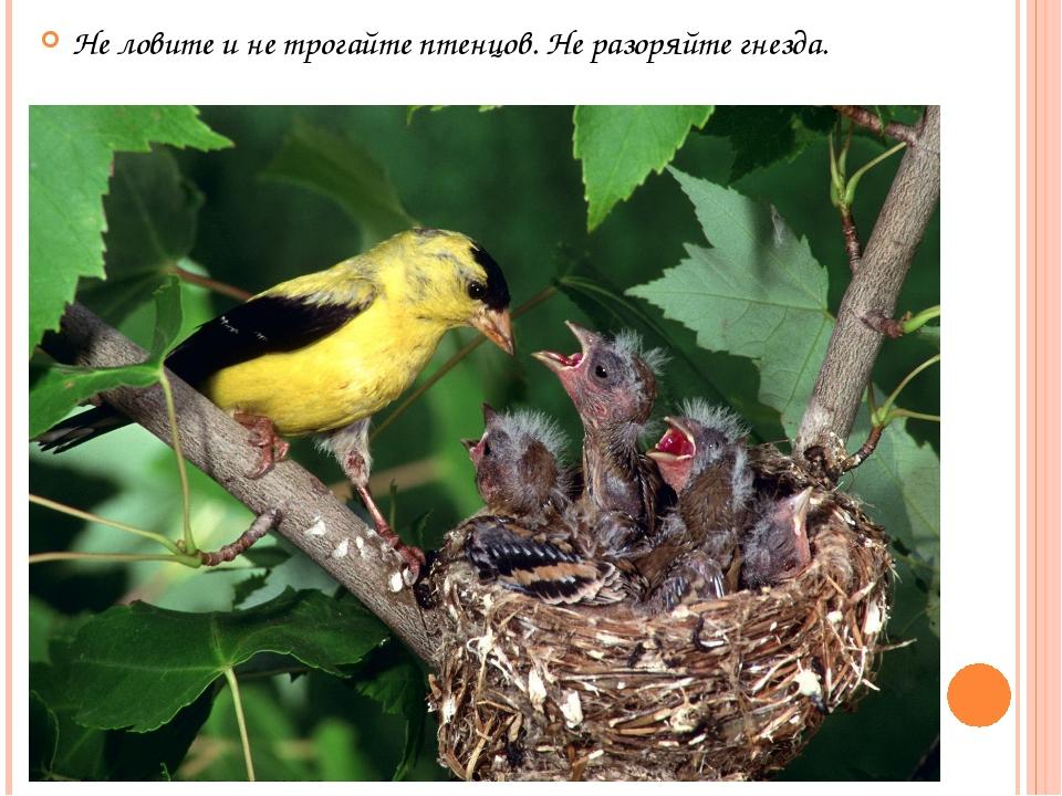 Не ловите и не трогайте птенцов. Не разоряйте гнезда.