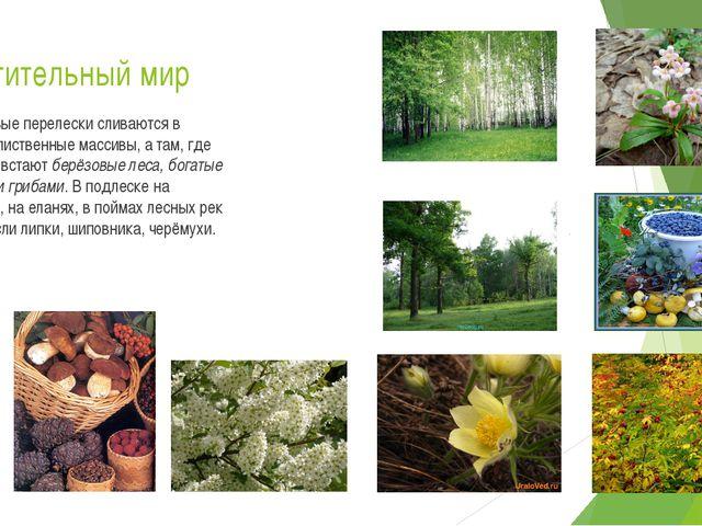 Растительный мир Берёзовые перелески сливаются в хвойно-лиственные массивы, а...