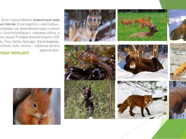 Братья наши меньшие Богат и разнообразен животный мир таёжных лесов. В них во...