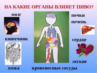 НА КАКИЕ ОРГАНЫ ВЛИЯЕТ ПИВО? мозг сердце легкие кровеносные сосуды кишечник п