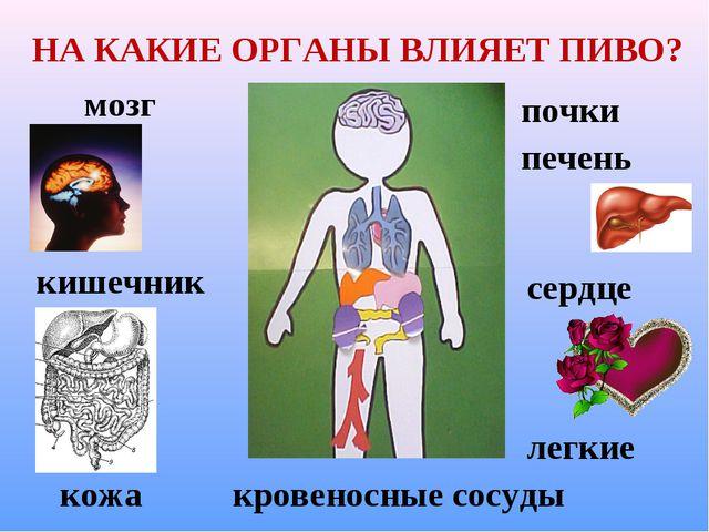 НА КАКИЕ ОРГАНЫ ВЛИЯЕТ ПИВО? мозг сердце легкие кровеносные сосуды кишечник п...