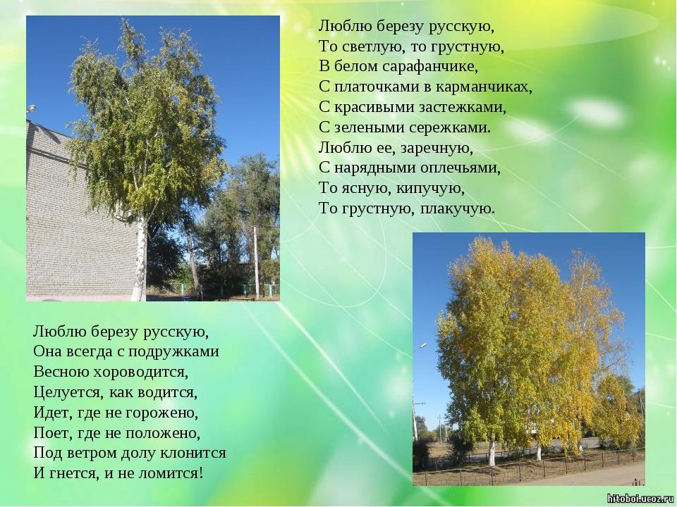 Люблю березу русскую, Она всегда с подружками Весною хороводится, Целуется,...