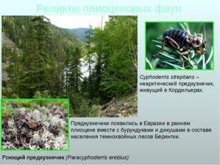 Реликты плиоценовых фаун Роющий предкузнечик (Paracyphoderris erebius) Предку