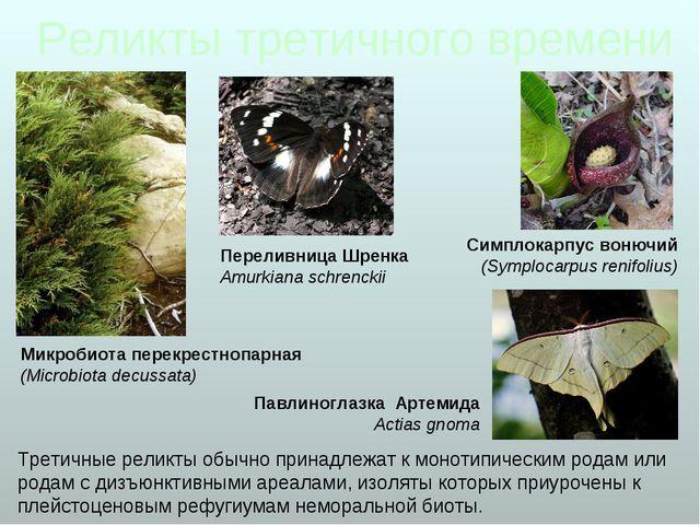 Микробиота перекрестнопарная (Microbiota decussata) Симплокарпус вонючий (Sym...
