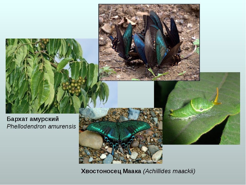 Бархат амурский Phellodendron amurensis Хвостоносец Маака (Achillides maackii)