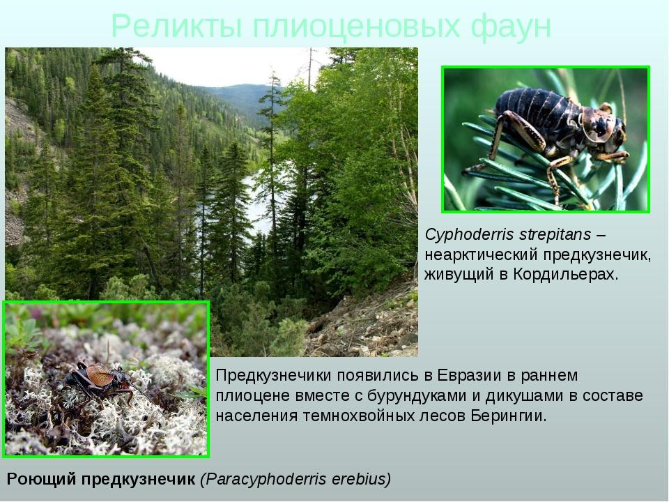 Реликты плиоценовых фаун Роющий предкузнечик (Paracyphoderris erebius) Предку...