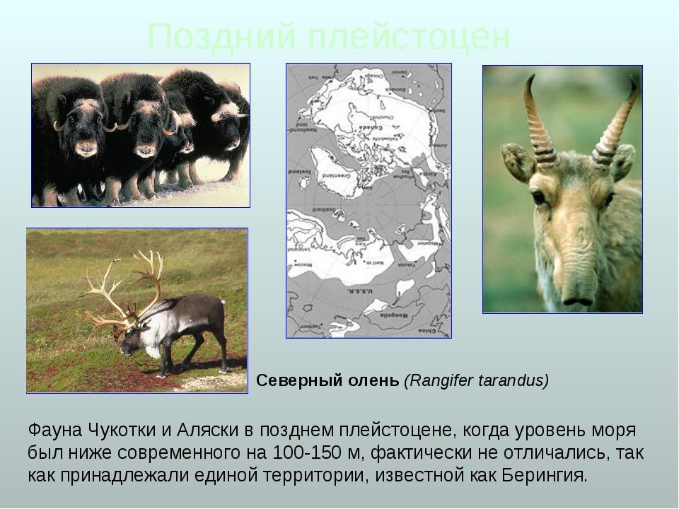 Поздний плейстоцен Фауна Чукотки и Аляски в позднем плейстоцене, когда уровен...