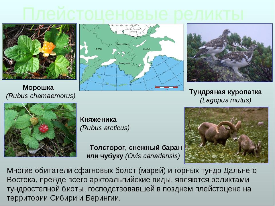 Плейстоценовые реликты Морошка (Rubus chamaemorus) Многие обитатели сфагновых...