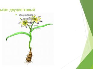 Тюльпан двуцветковый