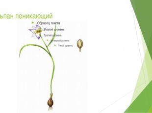 Тюльпан поникающий