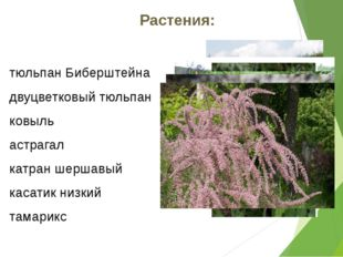 Растения: тюльпан Биберштейна двуцветковый тюльпан ковыль астрагал катран шер