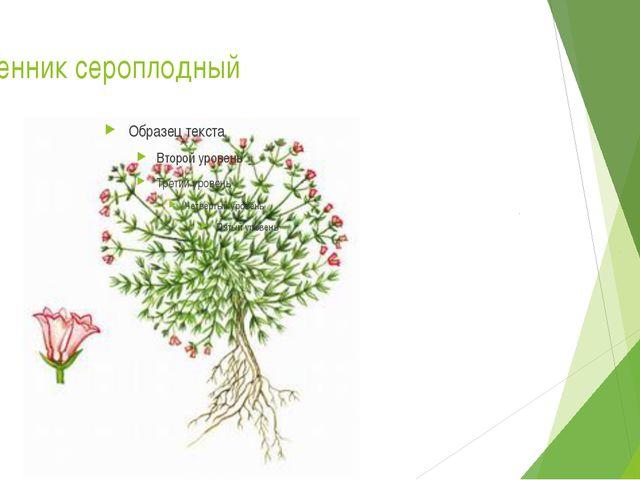 Ясменник сероплодный