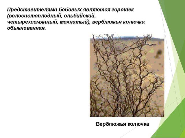 Представителями бобовых являются горошек (волосистоплодный, ольбийский, четыр...
