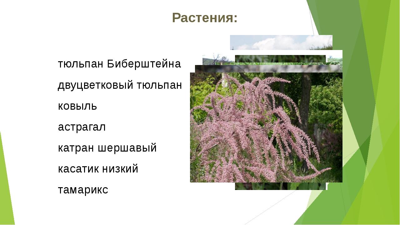 Растения: тюльпан Биберштейна двуцветковый тюльпан ковыль астрагал катран шер...