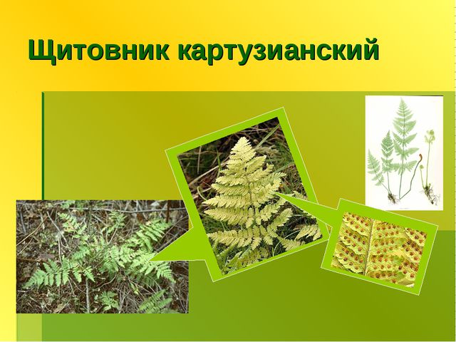 Щитовник картузианский