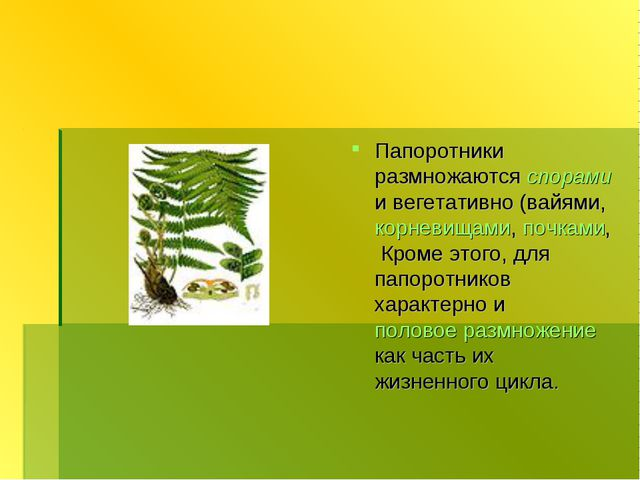 Папоротники размножаются спорами и вегетативно (вайями, корневищами, почками,...