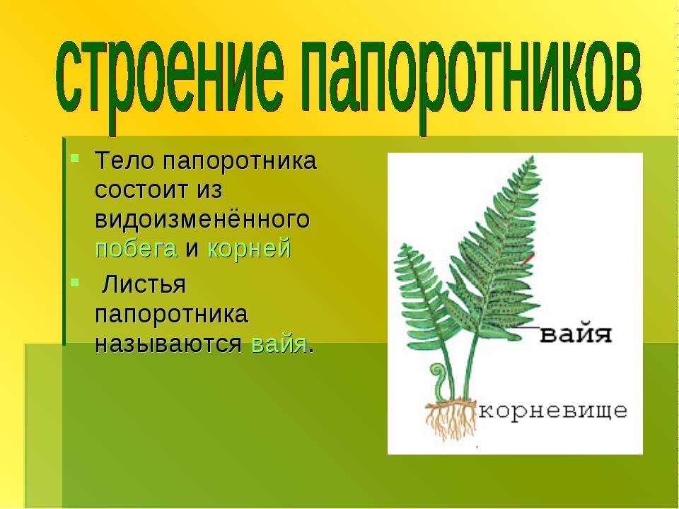 Тело папоротника состоит из видоизменённого побега и корней Листья папоротник...