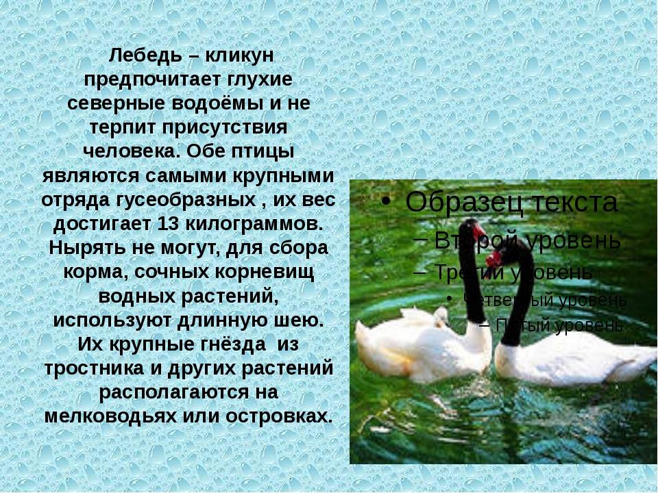 Лебедь – кликун предпочитает глухие северные водоёмы и не терпит присутствия...