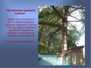 Лиственница царевича Алексея. Дерево было посажено в честь первой годовщины р
