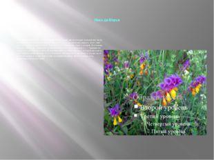 Иван-да-Марья Народное название нескольких травянистых растений, цветы котор
