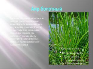 Аир болотный Растение это очищало водоем, и там, где росло это растение, можн