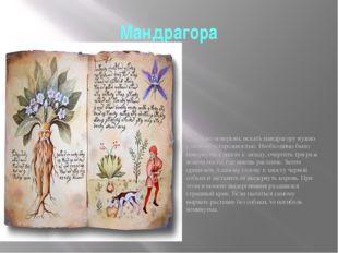 Мандрагора Мандрагора, Адамова голова, растение из семейства паслёновых – мяс