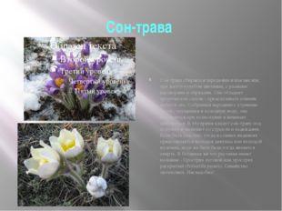 Сон-трава Сон-трава сбирается чародеями в мае месяце, при желто-голубом цвете