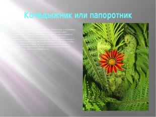 Кочедыжник или папоротник Кочедыжник или папоротник срывается под Иванов день