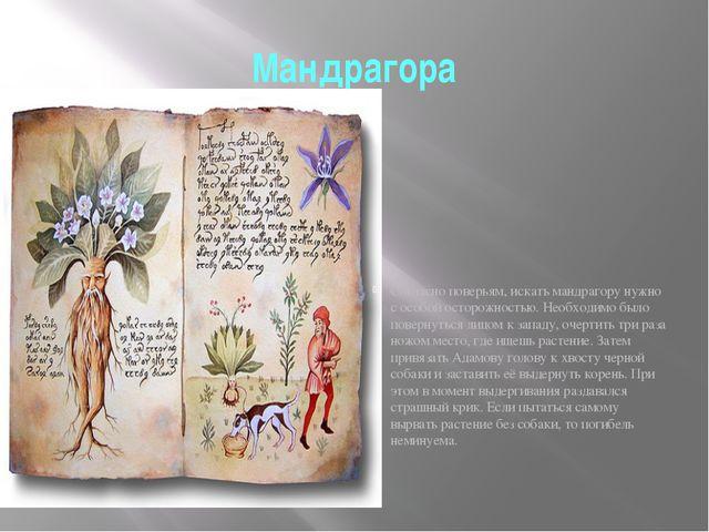 Мандрагора Мандрагора, Адамова голова, растение из семейства паслёновых – мяс...