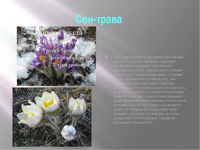 Сон-трава Сон-трава сбирается чародеями в мае месяце, при желто-голубом цвете...