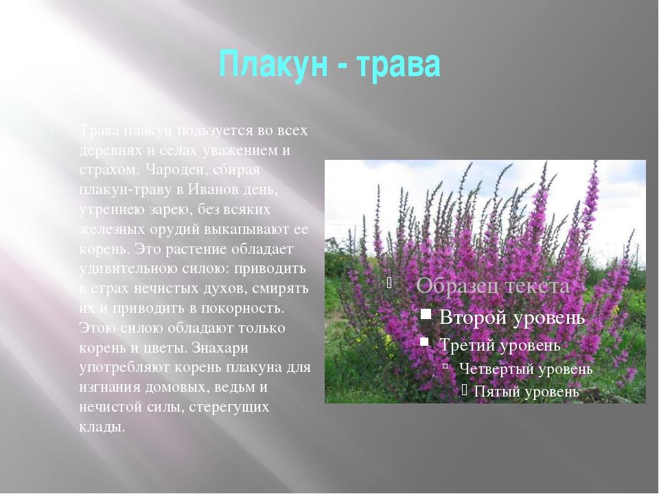 Плакун - трава Трава плакун пользуется во всех деревнях и селах уважением и с...