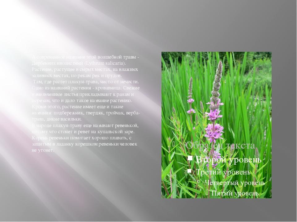 А современное название этой волшебной травы - Дербенник иволистный (Lythrum...