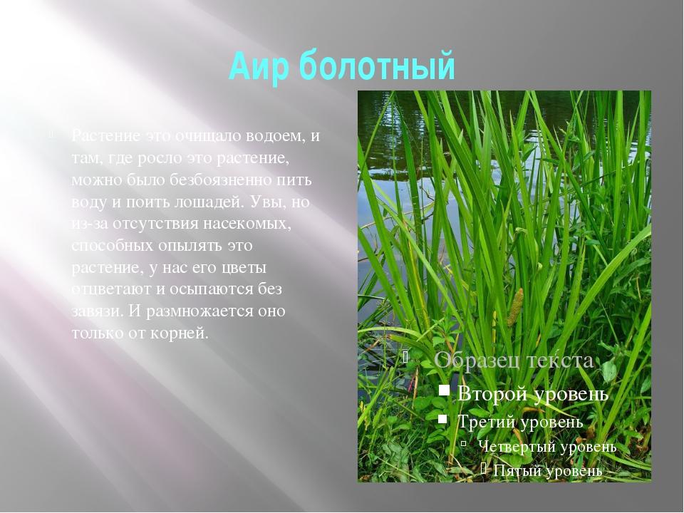 Аир болотный Растение это очищало водоем, и там, где росло это растение, можн...