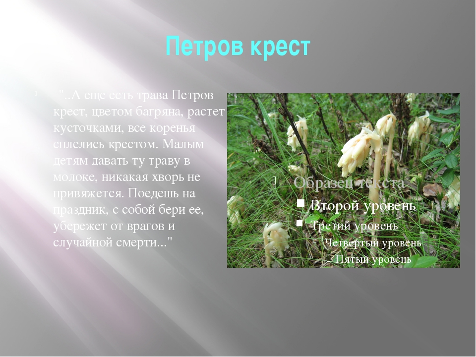 """Петров крест  """"..А еще есть трава Петров крест, цветом багряна, растет кусто..."""