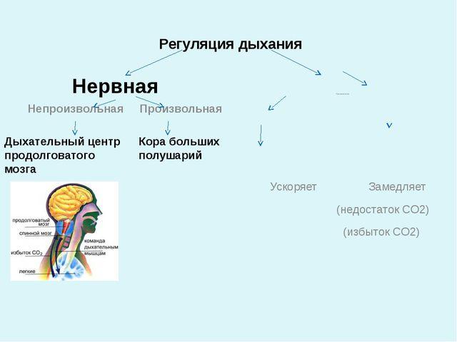 Регуляция дыхания Нервная Гуморальная Ускоряет Замедляет (недостаток СО2) (из...